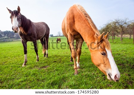 BEAUTIFUL HORSES GRAZING IN THE FIELD - stock photo