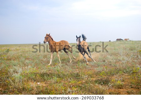 Beautiful horses in the field, two foals playing and running in the filed
