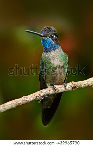 Beautiful hummingbird. Blue and green small bird from mountain cloud forest in Costa Rica. Magnificent Hummingbird, Eugenes fulgens, hummingbird from Costa Rica. Hummingbird in the forest. Rare bird. - stock photo