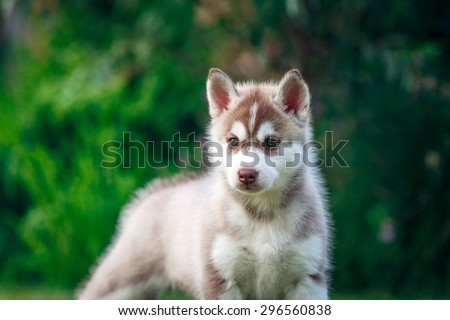 beautiful husky puppy on the meadow
