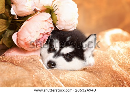 beautiful husky puppy with flowers. Card for the holiday - stock photo