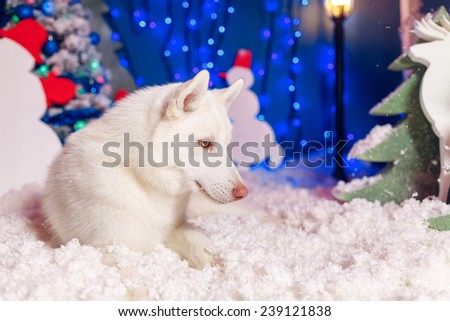 beautiful husky white color in the snow - stock photo