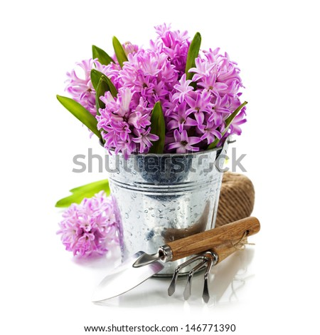 Beautiful Hyacinths in vase and garden tools over white