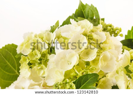 beautiful hydrangea - stock photo