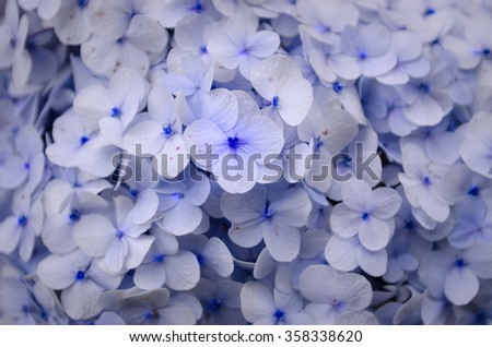 Beautiful hydrangea flowers flower background