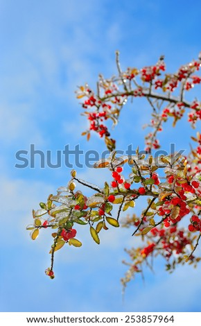 Beautiful Ice glazed tree with small red fruits - stock photo