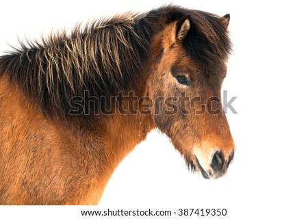 Beautiful icelandic horse on white background - stock photo