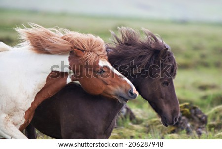 Beautiful Icelandic horses in a rocky green meadow - stock photo