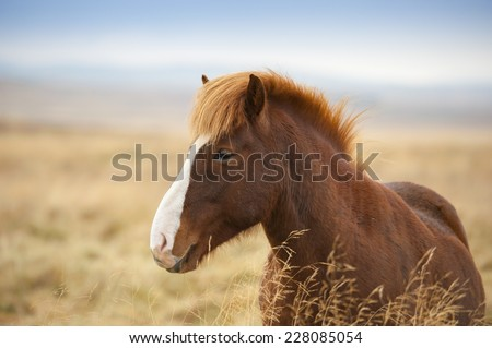 Beautiful Icelandic horses in Iceland - stock photo