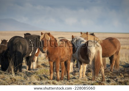 Beautiful Icelandic horses in Iceland