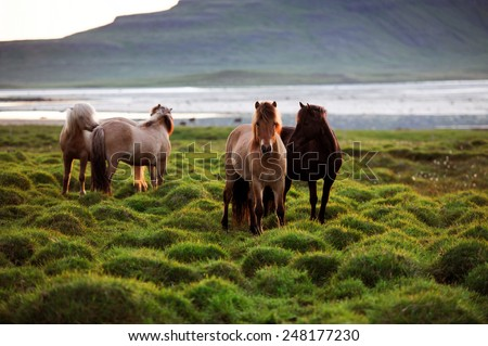 Beautiful icelandic horses on a mossy ground with hills and lakes on a background, West Iceland - stock photo