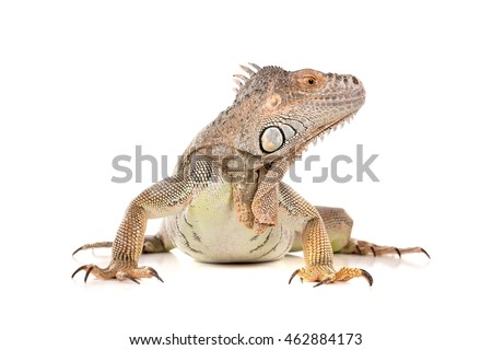 Beautiful Iguana isolated in a white background