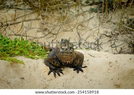 beautiful iguana resting in the beach in santa cruz galapagos islands - stock photo