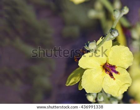 Beautiful image of a verbascum sinuatum flower closeup with copyspace  - stock photo