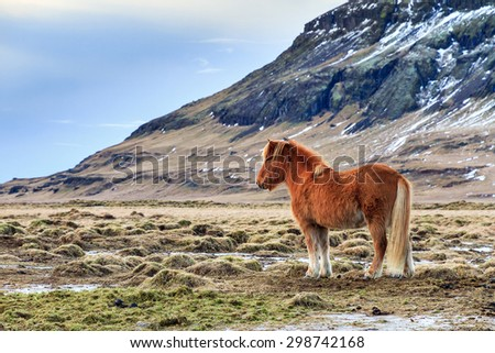 Beautiful image of an Icelandic horse in the winter landscape of Iceland - stock photo