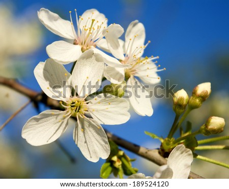 beautiful image of blossoming branches against the blue sky closeup - stock photo