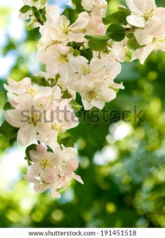 beautiful image of blossoming branches on a green background closeup