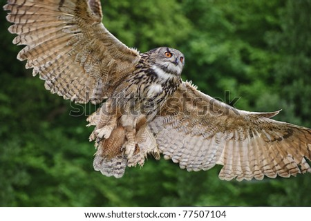 Beautiful image of European Eagle Owl in flight bubo bubo - stock photo