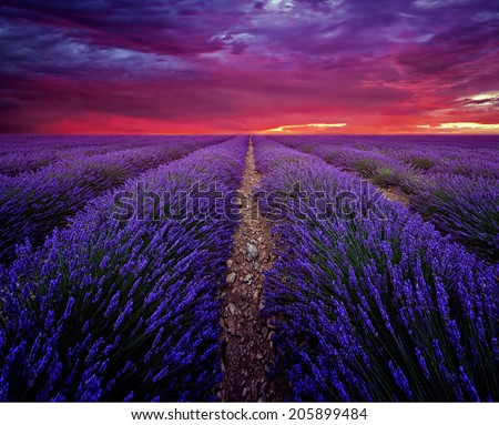 Beautiful image of lavender field Summer sunset landscape - stock photo