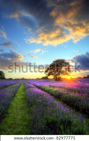 Beautiful image of stunning sunset with atmospheric clouds and sky over vibrant ripe lavender fields in English countryside landscape - stock photo