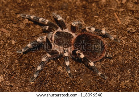 beautiful immature female Brazilian White Stripe Tarantula (Acanthoscurria geniculata) - stock photo