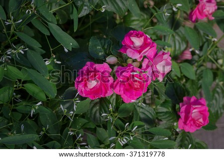Beautiful impatiens walleriana flowers with green leaf. - stock photo