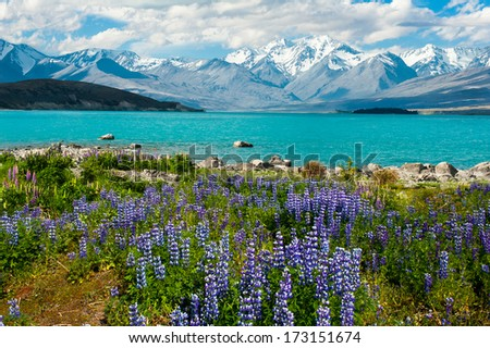 Beautiful incredibly blue lake Tekapo with blooming lupins on the shore and mountains, Southern Alps, on the other side. New Zealand - stock photo