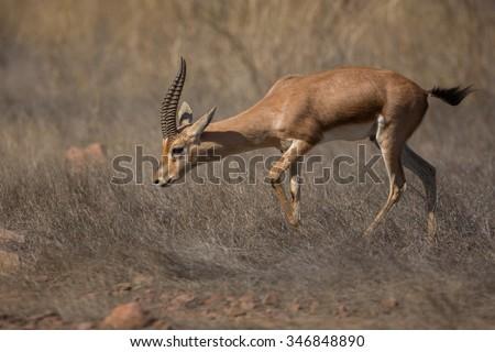 Beautiful indian gazelle in the nature habitat in India - stock photo