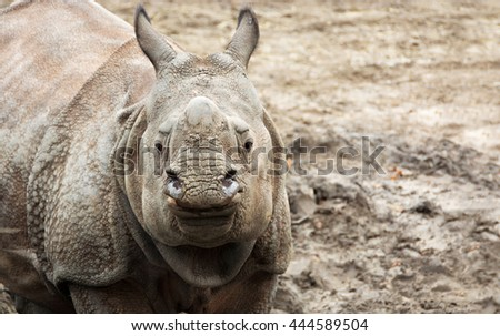 Beautiful Indian One Horned Rhinoceros. Curious & happy young rhino. Wildlife of India. Close up photo. Amazing portrait of a cute cub. Wild powerful animals in National Parks of Asia Wonderful image  - stock photo