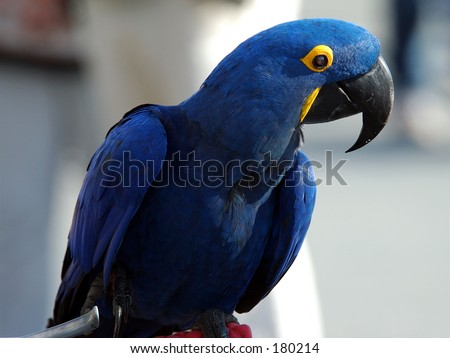 Beautiful Indigo blue Parrot or Macaw