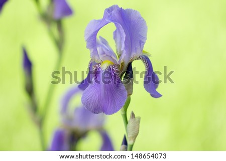 beautiful iris flower in nature
