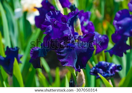 Beautiful irises blooming in the garden