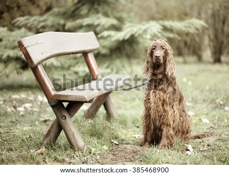 Beautiful Irish Setter dog waiting for his owner near a bench - stock photo