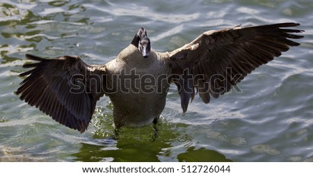 Beautiful isolated photo of a Canada goose