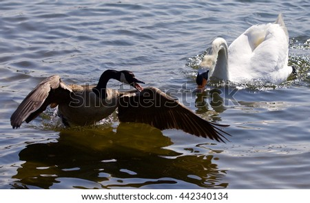 Beautiful isolated photo of the Canada goose running away from the angry mute swan - stock photo