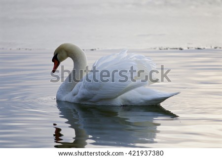Beautiful isolated picture with the mute swan swimming in the lake - stock photo