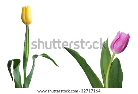 beautiful isolated pink or violet and yellow tulip flowers set or collection with leaves, isolated on white background, ideal for natural,health or season designs.