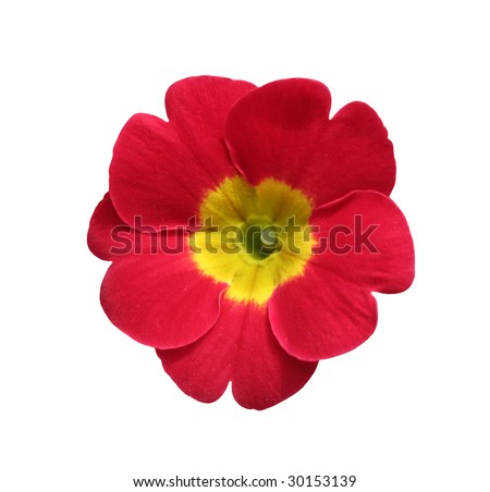 beautiful isolated red and yellow round flower, isolated on white background, ideal for natural,health or season designs.