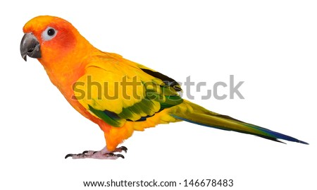 Beautiful Isolated Sun Conure Parrot