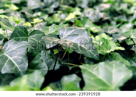 Beautiful ivy leaf on a green background - stock photo