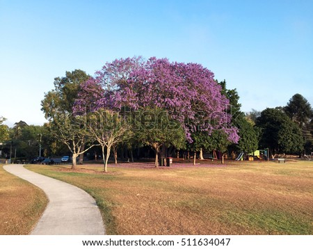 Beautiful Jacaranda tree in park next to playground in Brisbane, Queensland, Australia