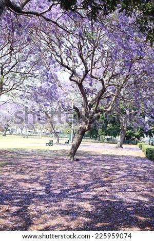 Beautiful Jacaranda trees in New Farm Park, Queensland, Australia