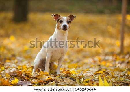 Beautiful jack russell terrier looking at you in autumn - stock photo