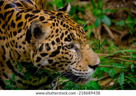 beautiful jaguar face closeup in the forest belize