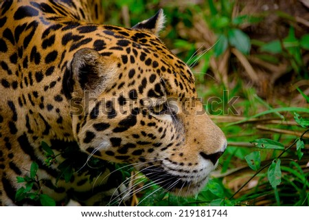 beautiful jaguar face closeup in the forest belize - stock photo