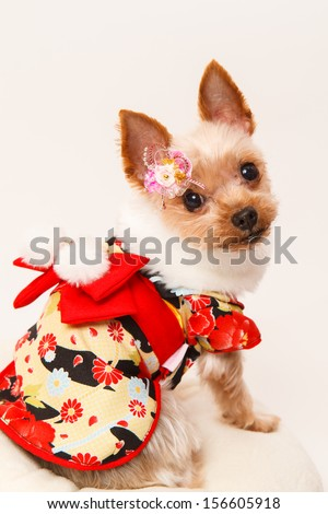 Beautiful japanese kimono dog Yorkshire Terrier