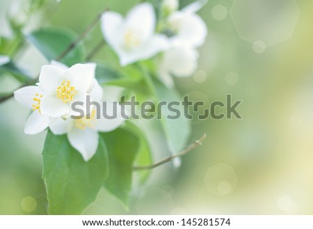 beautiful jasmine flowers on a branch - stock photo