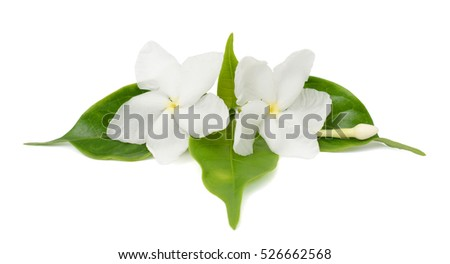 beautiful Jasminum sambac flowers isolated on white background