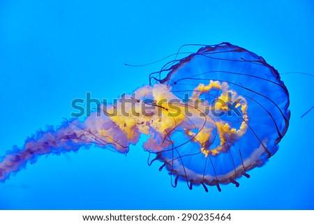 Beautiful jellyfish in their natural habitat. - stock photo