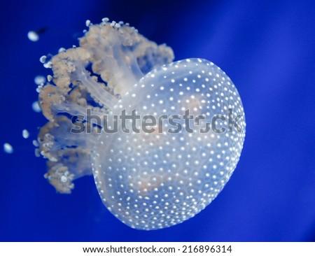 beautiful jellyfish swimming in the ocean - stock photo